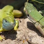 0010_Macin_Broasca Testoasa si reptile_2011_01_009