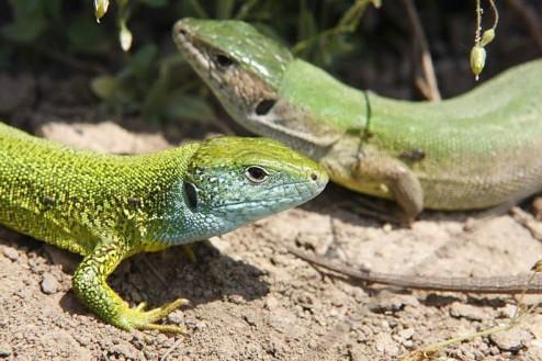 Sopârlele (Lacerta taurica) şi guşterii (Lacerta viridis) - Muntii Macin