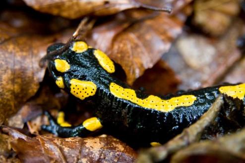 SalamandraNegru cu galben sau galben cu negru?  - Salamandra comuna sau salamandra de foc