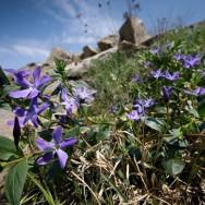 Saschiu (Vinca herbacea)_Muntii Macin 1 Mai 2011 Culmea Pricopanului_Cozluk_Fundu_Plopilor