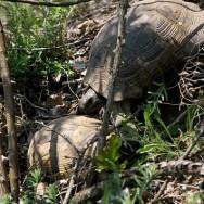 Broaște țestoase_Muntii Macin 1 Mai 2011 Culmea Pricopanului_Cozluk_Fundu_Plopilor