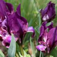 Rățișoare (Iris pumila)_Muntii Macin 1 Mai 2011 Culmea Pricopanului_Cozluk_Fundu_Plopilor