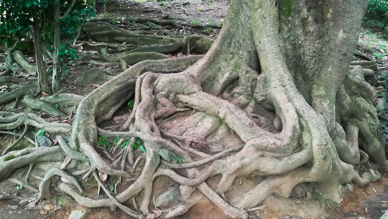 Radacina de magnoliu