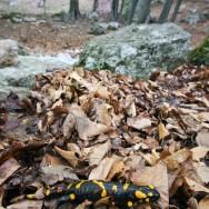 Salamandra (Cheile Tasnei-Valea Cernei, Muntii Mehedinti)