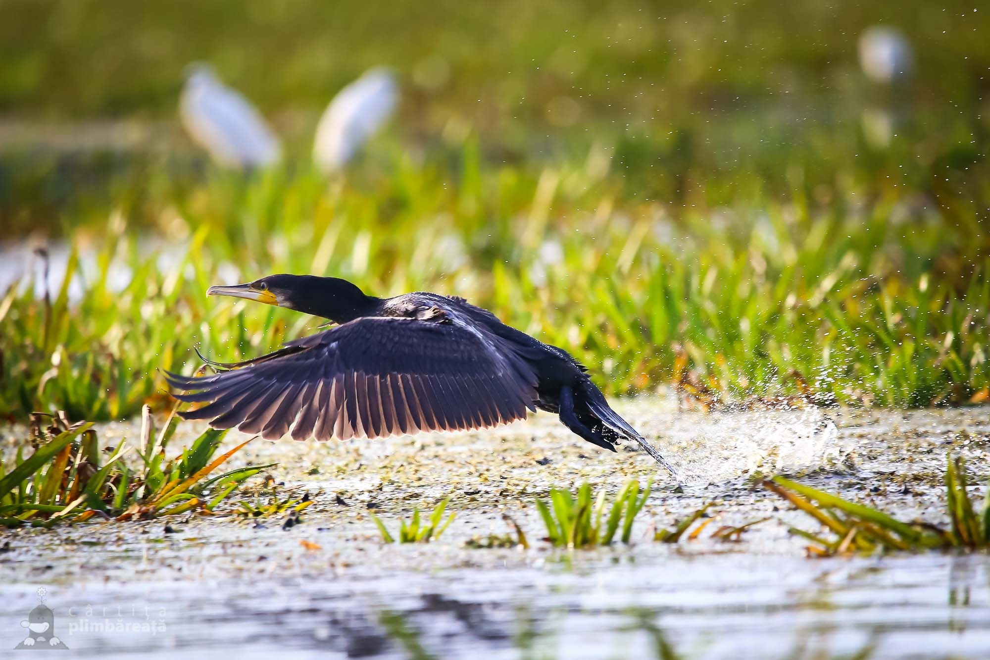Cormoran (Phalacrocorax carbo)