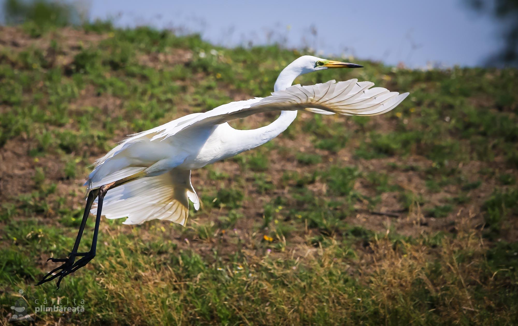 Egreta mare (Ardea alba)