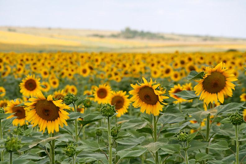 Land_de_floarea_soarelui_Sasca_Montana_Slatina_Nera_Cheile_Nerei_022