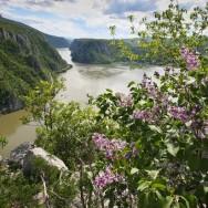Liliac salbatic pe Ciucarul Mic - Defileul Dunarii