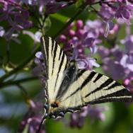 Liliac salbatic si Coada Randunicii - Cazanele Dunarii