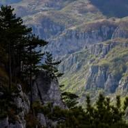 Pinul negru de banat (Pinus nigra ssp. banatica) - Pinus nigra ssp. banatica