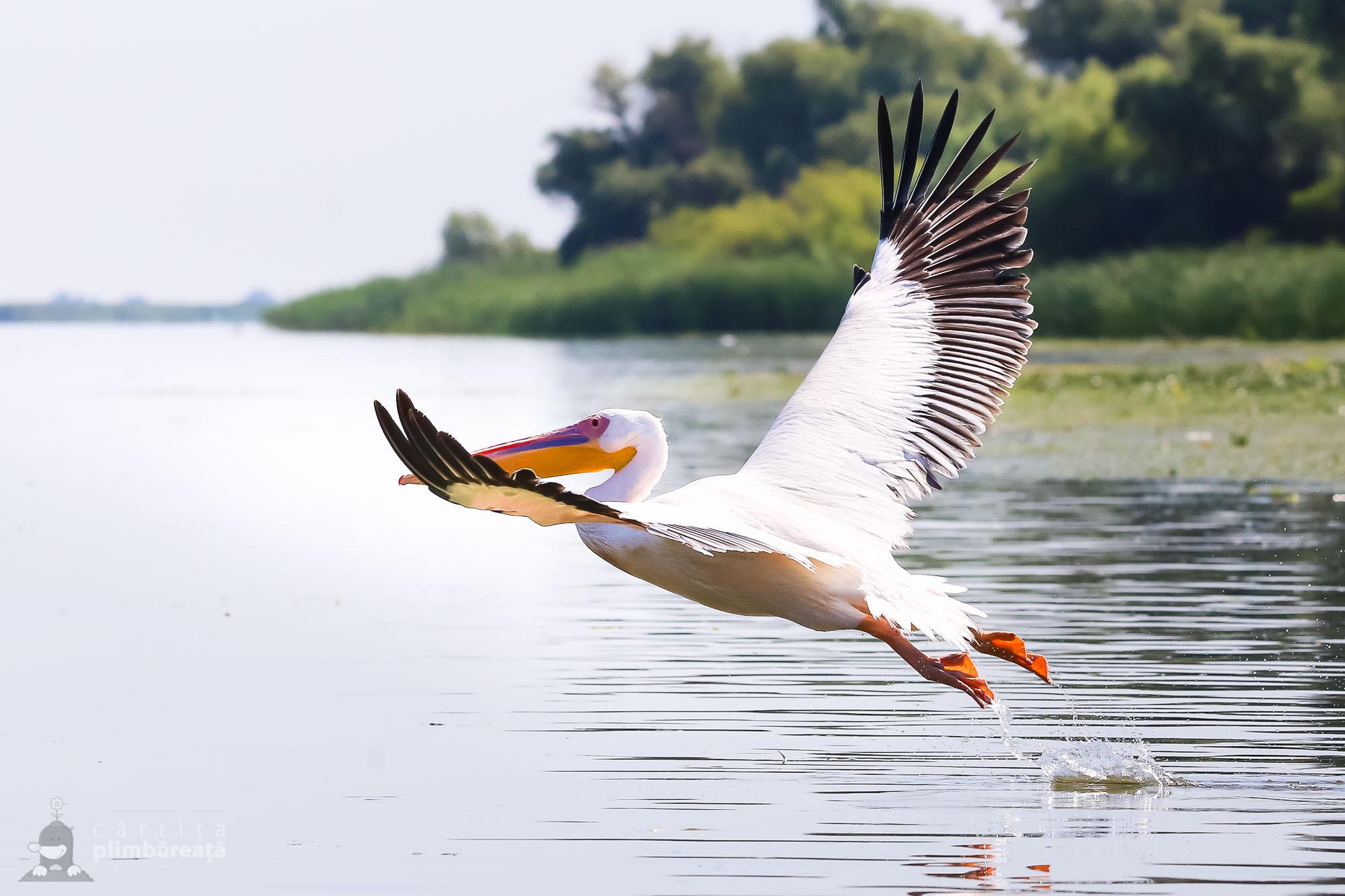 Pelican comun (Pelecanus onocrotalus)