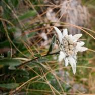 Floare de colt - Leontopodium alpinum - Piatra Craiului, Creasta sudica