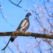 Porumbel gulerat - Columba palumbus