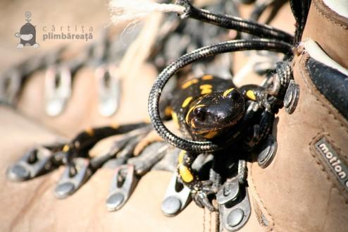Salamandra comuna sau salamandra de foc