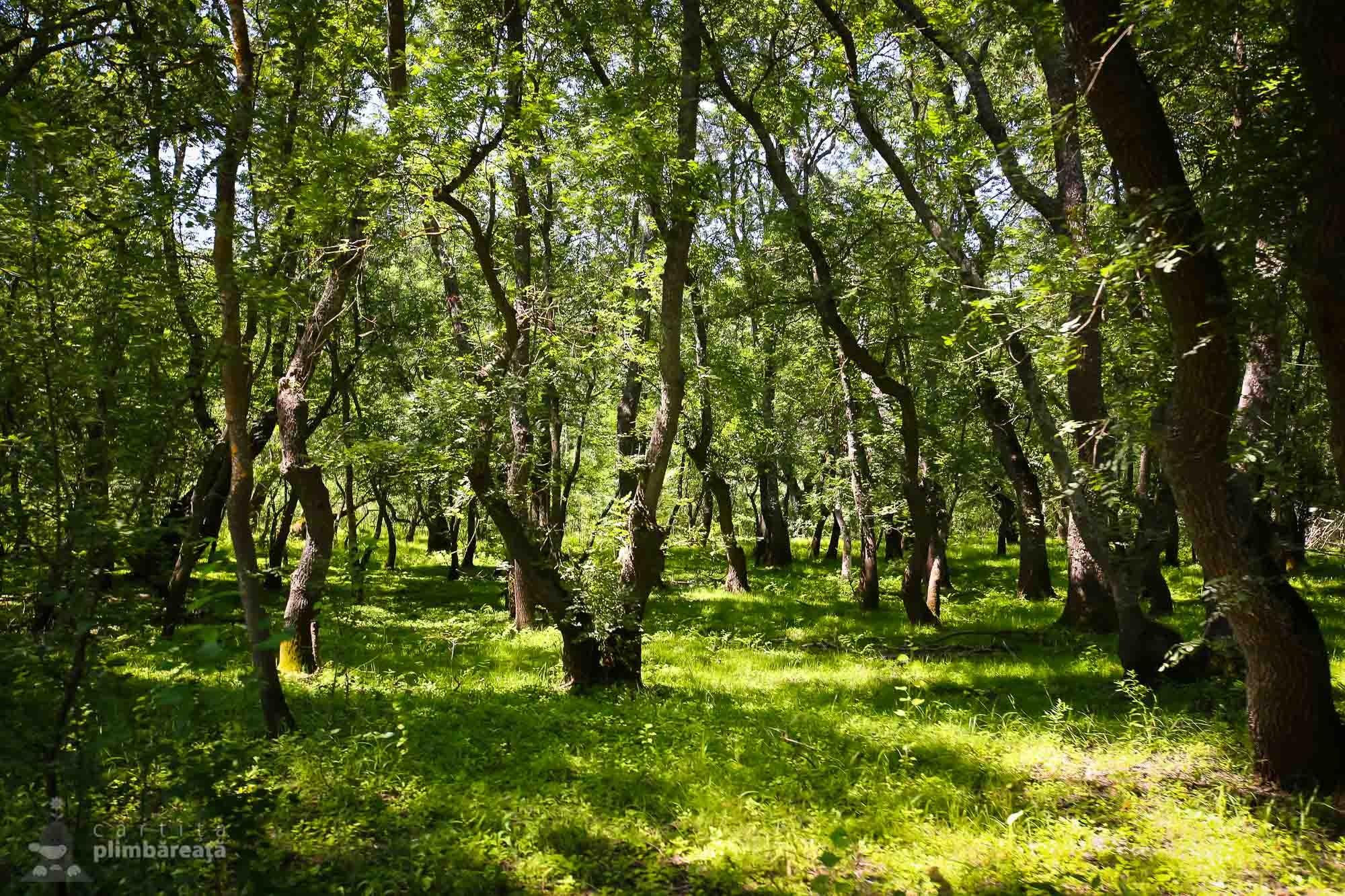 Tantarii, stejarii si lianele sunt la ele acasa in Padurea Letea