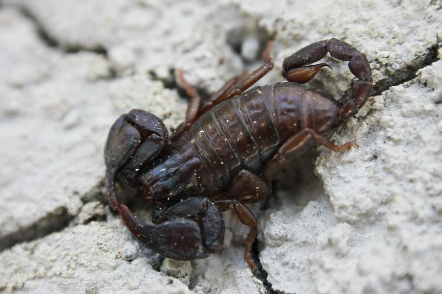 Scorpion_Euscorpius_carpathicus_banat_Herculane_Cheile_Nerei_018