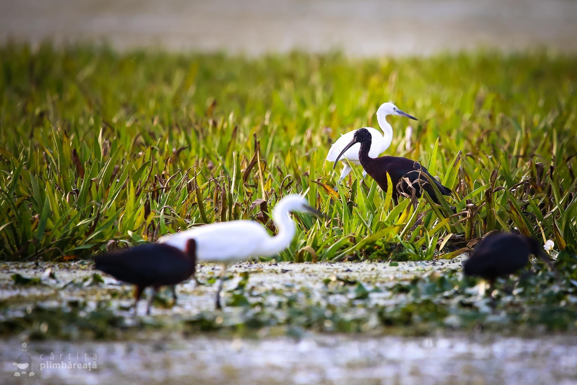 Tiganusi si egrete mici